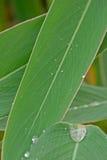 塔利亚dealbata叶子和露水 库存图片
