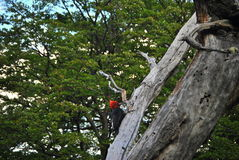 巴塔哥尼亚人的啄木鸟 免版税图库摄影