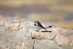 巴塔哥尼亚人的山脉雀科Phrygilus patagonicus 免版税图库摄影