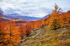 巴塔哥尼亚的金黄森林 免版税图库摄影