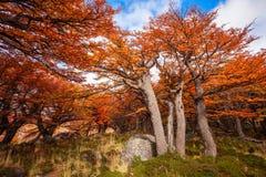 巴塔哥尼亚的金黄森林 免版税库存图片