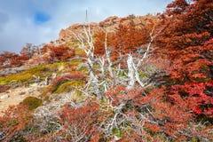 巴塔哥尼亚的金黄森林 库存照片