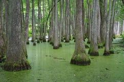 塔拉哈西,佛罗里达Swampland 免版税库存照片