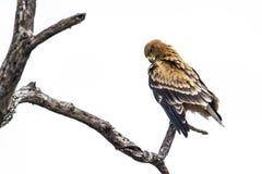 塔拉斯瓦尔贝里的老鹰在克鲁格国家公园,南非 库存图片