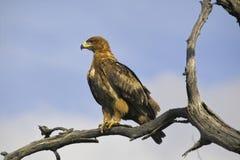 塔拉斯瓦尔贝里的老鹰(Hieraaetus wahlbergi) 免版税库存图片