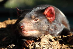 塔斯马尼亚澳洲的恶魔 库存图片