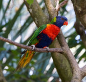 塔斯马尼亚的彩虹Lorikeet在瓜德罗普 库存照片