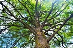 塔斯马尼亚的树 免版税库存照片