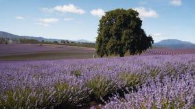 塔斯马尼亚的淡紫色领域 影视素材