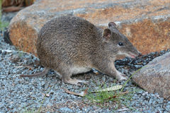 塔斯马尼亚的长鼻袋鼠 库存图片