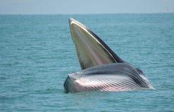 塔玛琳海湾鲸鱼  免版税库存照片