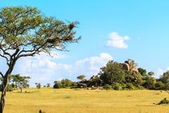 塞伦盖蒂不尽的大草原  小山和树和蓝天 坦桑尼亚,非洲 免版税库存图片