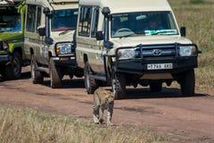 塞伦盖蒂国家公园,坦桑尼亚-豹子 免版税库存图片