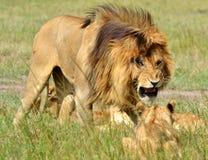 塞伦盖蒂狮子 免版税图库摄影