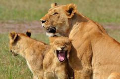 塞伦盖蒂狮子 免版税库存图片