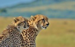 塞伦盖蒂猎豹家庭 免版税库存照片