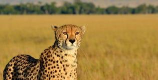 塞伦盖蒂猎豹 库存照片