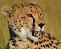 塞伦盖蒂猎豹 免版税库存照片