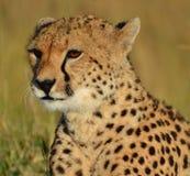 塞伦盖蒂猎豹 免版税库存图片