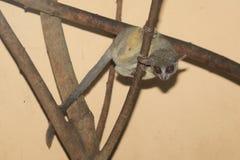 塞内加尔丛猴 免版税库存图片