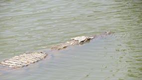 塞内加尔鳄鱼 免版税库存图片