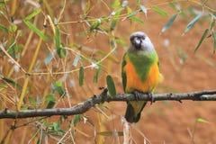 塞内加尔鹦鹉 免版税图库摄影