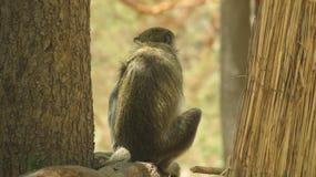 塞内加尔猴子5 库存照片