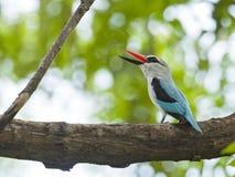 塞内加尔IJsvogel,森林地翠鸟,太平senegalensis 免版税库存图片