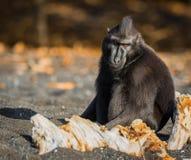 塞利比斯顶饰在野生生物的短尾猿 免版税库存照片