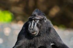 塞利比斯顶饰在野生生物的短尾猿 库存图片