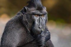 塞利比斯顶饰在野生生物的短尾猿 免版税库存图片