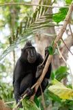 塞利比斯顶饰短尾猿,苏拉威西岛,印度尼西亚 免版税库存图片
