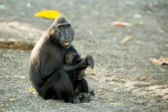 塞利比斯画象顶饰短尾猿,苏拉威西岛,印度尼西亚 免版税库存图片
