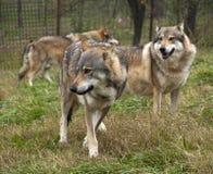 塞尔维亚狼 免版税库存图片