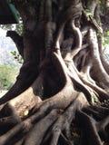 塞浦路斯日榕属室外晴朗的结构树 免版税库存照片