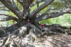 塞浦路斯日榕属室外晴朗的结构树 免版税库存图片