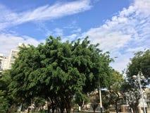塞浦路斯日榕属室外晴朗的结构树 图库摄影