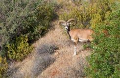 塞浦路斯狂放的mouflon 库存图片