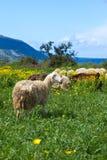 塞浦路斯绵羊 免版税图库摄影