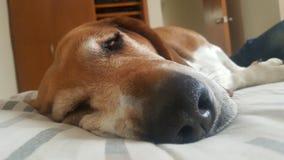贝塞猎狗 免版税图库摄影