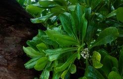 塞舌尔塔卡玛卡区树 库存照片