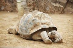 塞舌尔群岛乌龟 库存图片