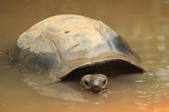 塞舌尔群岛巨型草龟 库存照片