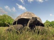 塞舌尔群岛巨型草龟 免版税库存照片