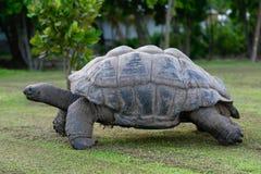 塞舌尔群岛巨型草龟 免版税库存图片