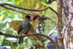 塞舌尔群岛歌手鸟坐在tre的hypsipetes crassirostris 免版税库存图片