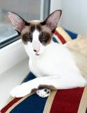 塞舌尔群岛猫 免版税库存照片