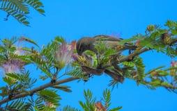 塞舌尔群岛sunbird Cinnyris dussumieri喝从fl的花蜜 库存照片