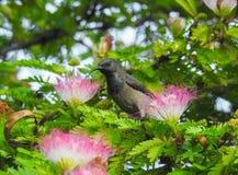 塞舌尔群岛sunbird Cinnyris dussumieri islan普拉兰岛的动物区系  免版税库存图片