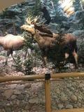填充动物玩偶在得克萨斯 图库摄影